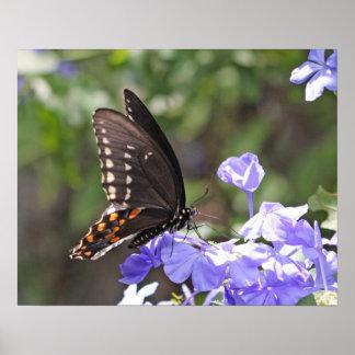 Mariposa norteamericana de Swallowtail del tigre Póster