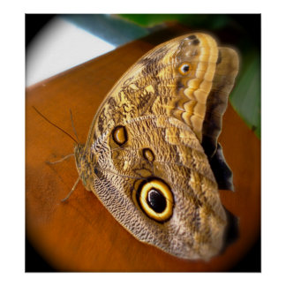 Mariposa observada grande póster