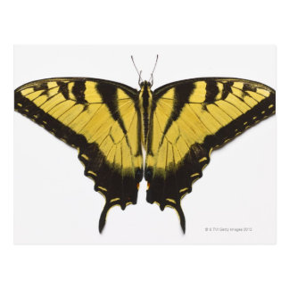 Mariposa occidental de Swallowtail del tigre Postal