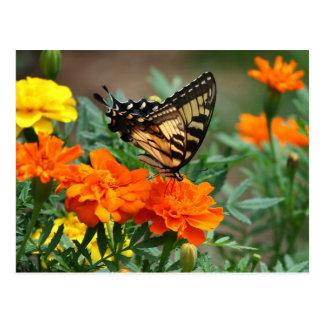 Mariposa Papilio Machaon de Swallowtail del Viejo  Tarjetas Postales
