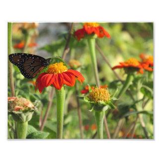 Mariposa que alimenta en las flores anaranjadas impresión fotográfica