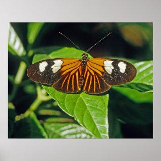 Mariposa roja del cartero posters