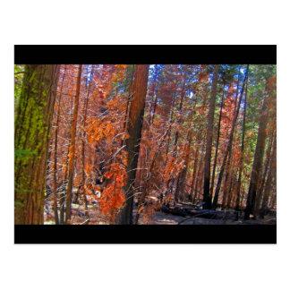 Mariposa Sugar Pine Postcard