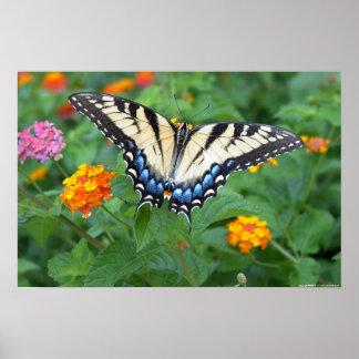 Mariposa - tigre del este Swallowtail Póster