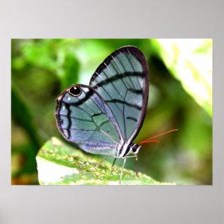 Mariposa transparente azul, Costa Rica Impresiones