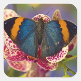 Mariposa tropical 11 de Sammamish Washington Pegatina Cuadrada