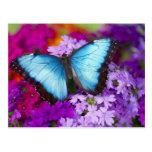 Mariposa tropical 7 de Sammamish Washington Postales