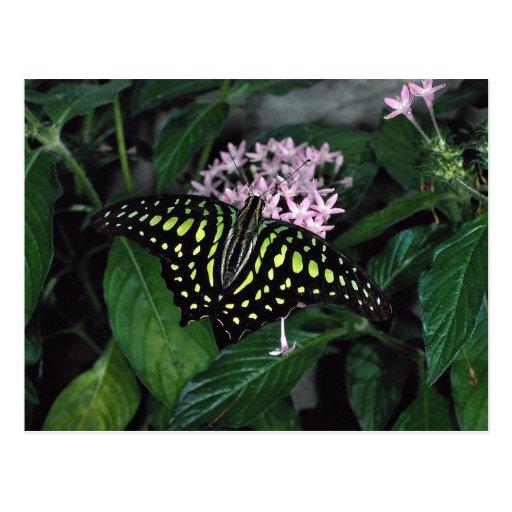 mariposa Verde-manchada del triángulo, Malasia Postales