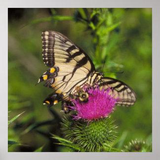 Mariposa y abeja de Swallowtail en una flor Póster