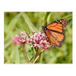 Mariposa y amigo de monarca tarjetas postales