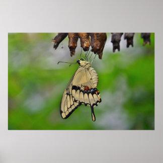 Mariposa y capullos de Swallowtail Póster