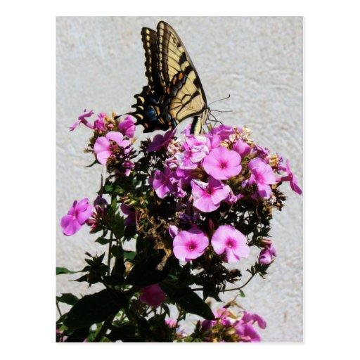 Mariposa y correhuelas postal