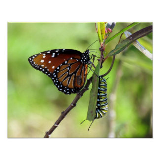 Mariposa y monarca Caterpillar de la reina Poster