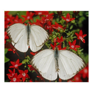 Mariposas blancas posters