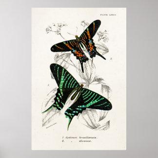 Mariposas de Swallowtail del negro del verde de lo Póster