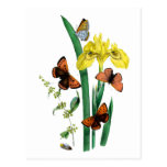 Mariposas e iris amarillo postal
