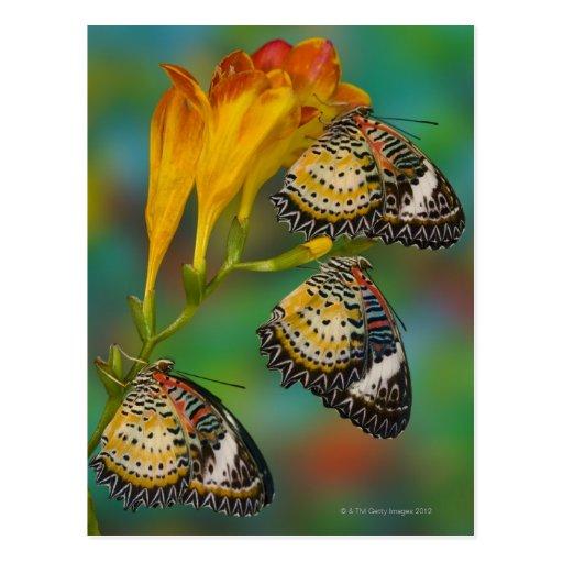 Mariposas tropicales del Lacewing del leopardo (Ce Tarjeta Postal