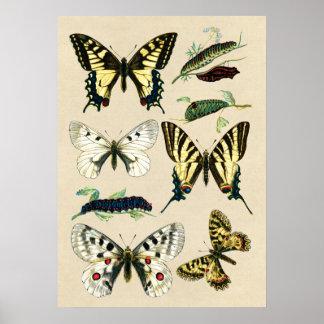 Mariposas y orugas de Swallowtail Póster