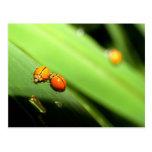 mariquita del punto del insecto tarjetas postales