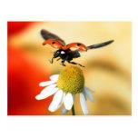 mariquita en la flor 2 tarjetas postales