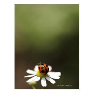 Mariquita en la flor de la manzanilla postal