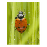 Mariquita en la hierba, primer postales