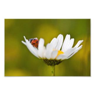 Mariquita en la margarita de ojo de buey - impresi fotografias
