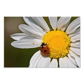 Mariquita en la margarita de ojo de buey - impresi fotografía