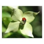 Mariquita en la naturaleza de la flor 10x8 del Dog Fotografías