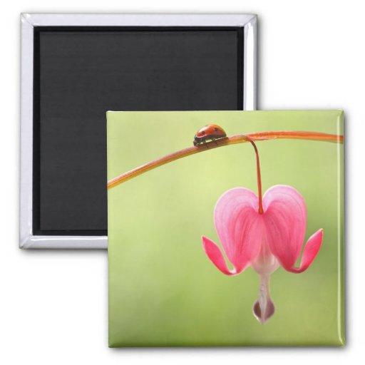 Mariquita y flor del corazón sangrante imán de frigorifico