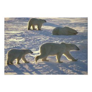 Maritimus del Ursus de los osos polares) dos hembr Cojinete
