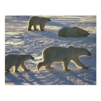 Maritimus del Ursus de los osos polares dos hembr Postal