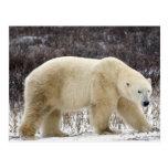 Maritimus del Ursus del oso polar) en Churchill Postal
