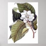 Mark Catesby: White Magnolia Antique Botanical Poster