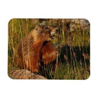 marmot eating grass magnet