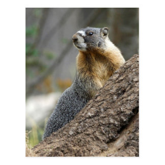 Marmot Meaning against a Rock Postcard