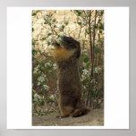 Marmot- mid spring poster