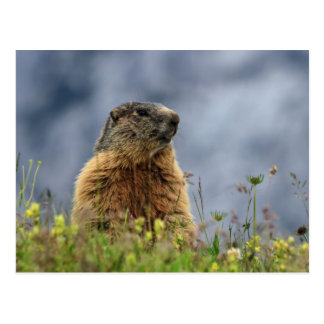 marmot on alpine meadow postcard