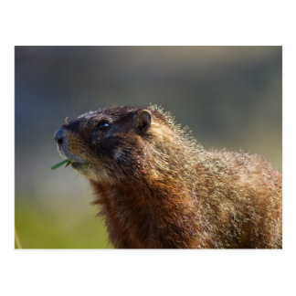Marmot Postcard