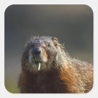 Marmot Square Sticker