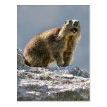 Marmota alpina en roca postal