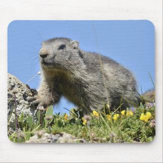 Marmota alpina joven tapetes de ratón