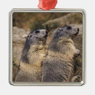 Marmota alpina marmota del Marmota adultos Saas Ornamento Para Arbol De Navidad