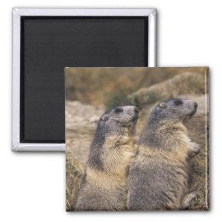 Marmota alpina marmota del Marmota adultos Saas Imán Para Frigorífico