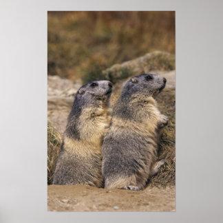Marmota alpina marmota del Marmota adultos Saas Posters