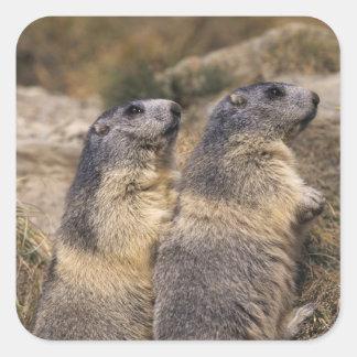 Marmota alpina marmota del Marmota adultos Saas Calcomania Cuadrada Personalizada