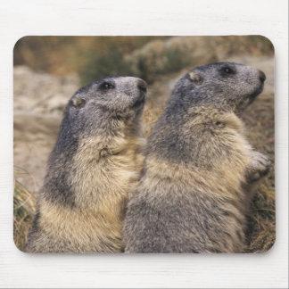 Marmota alpina marmota del Marmota adultos Saas Tapete De Ratón