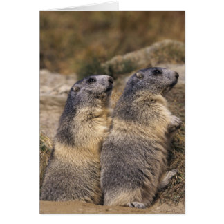 Marmota alpina marmota del Marmota adultos Saas Felicitacion