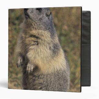 Marmota alpina marmota del Marmota situación adu