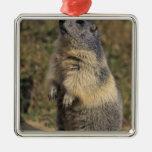 Marmota alpina, marmota del Marmota, situación adu Ornato